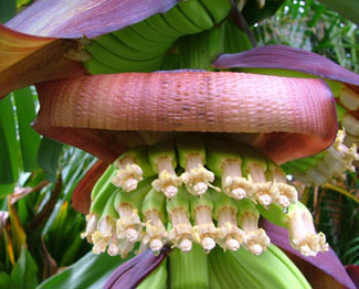 growing banana ends as faces underneath the unfurling petal